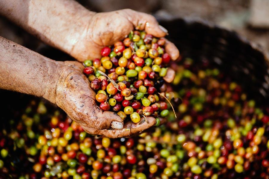 Dünya Kahveleri - Kahve Üretimi